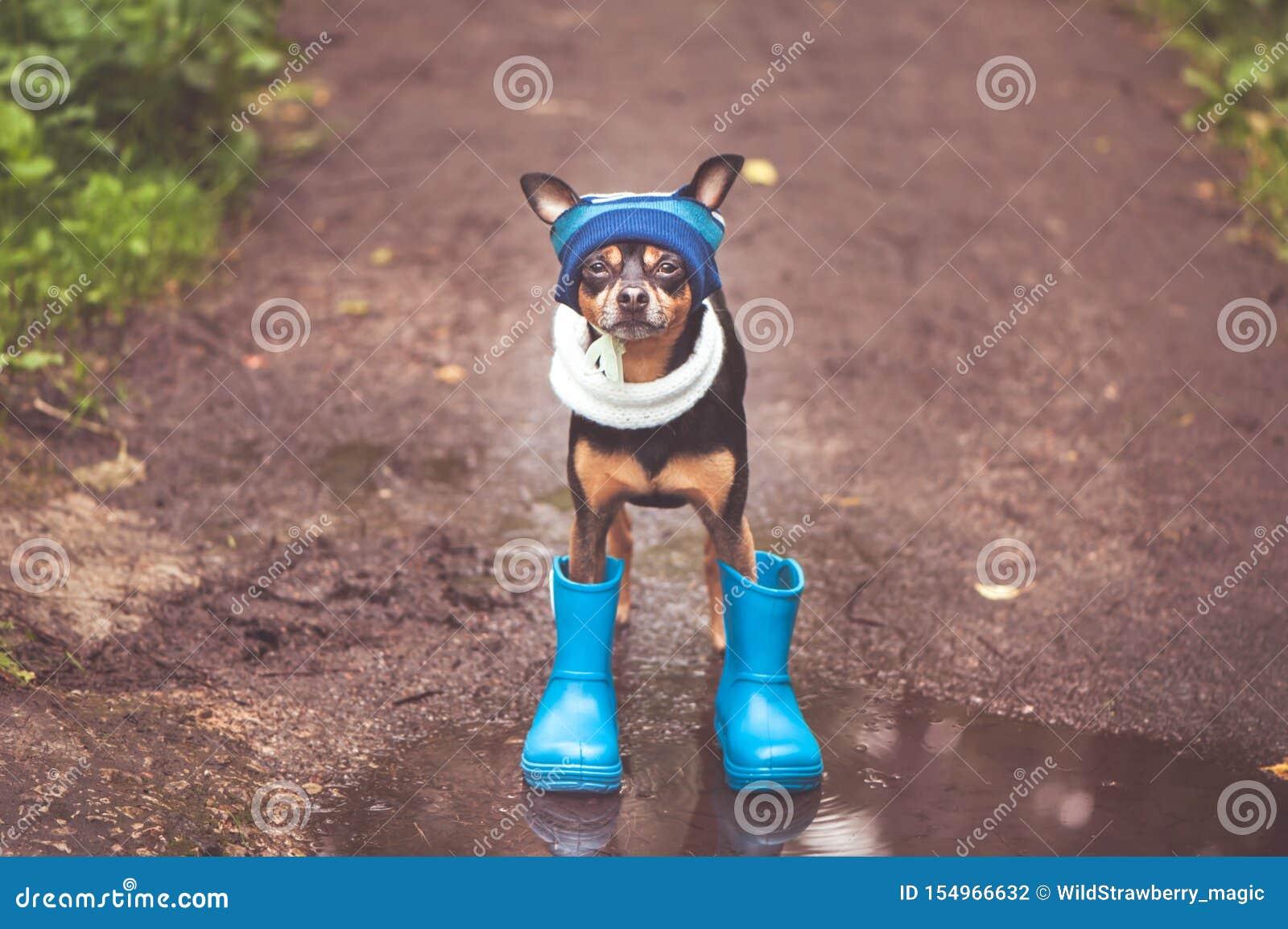 Het leuke puppy, een hond in een hoed en de rubberlaarzen bevinden zich in een vulklei en bekijken de camera Thema van regen en d
