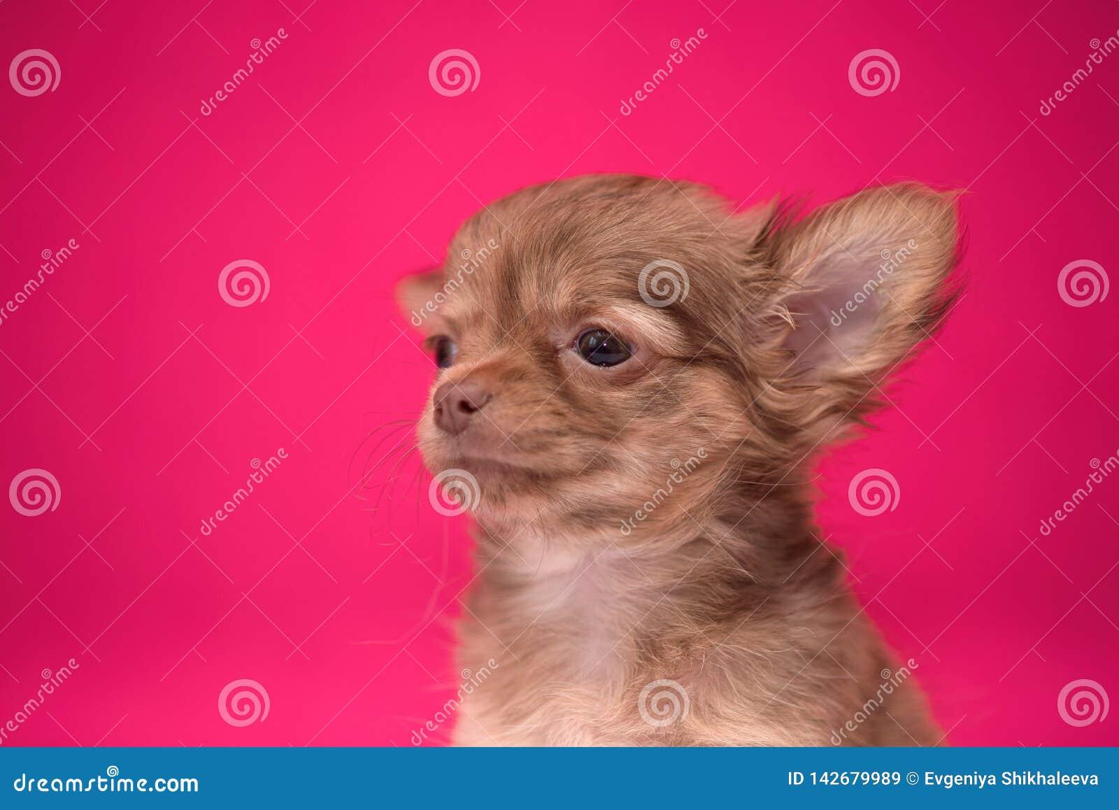 Het leuke roodharige Chihuahua-puppy zit op een karmozijnrode achtergrond