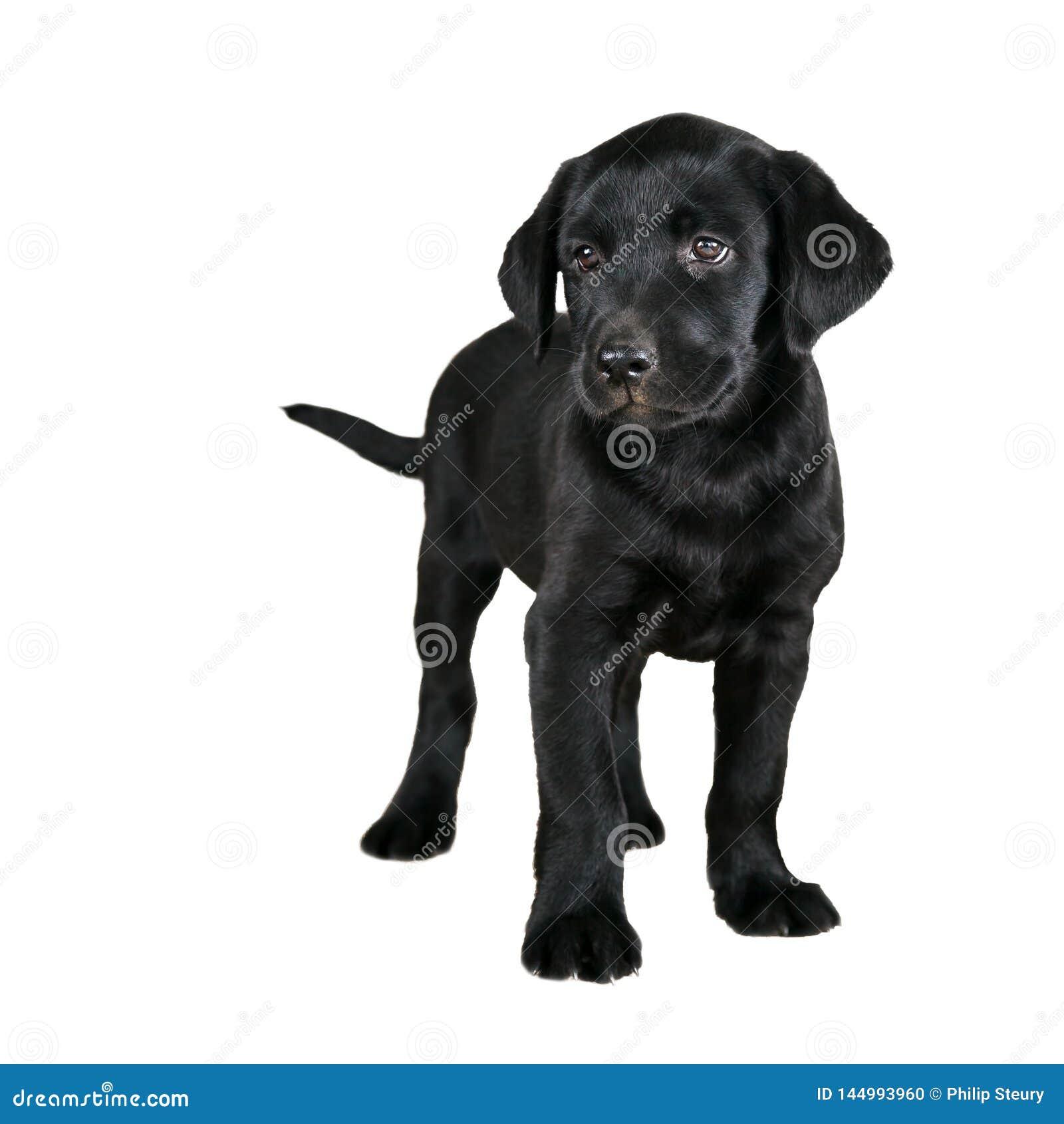 Het leuke zwarte puppy van Labrador