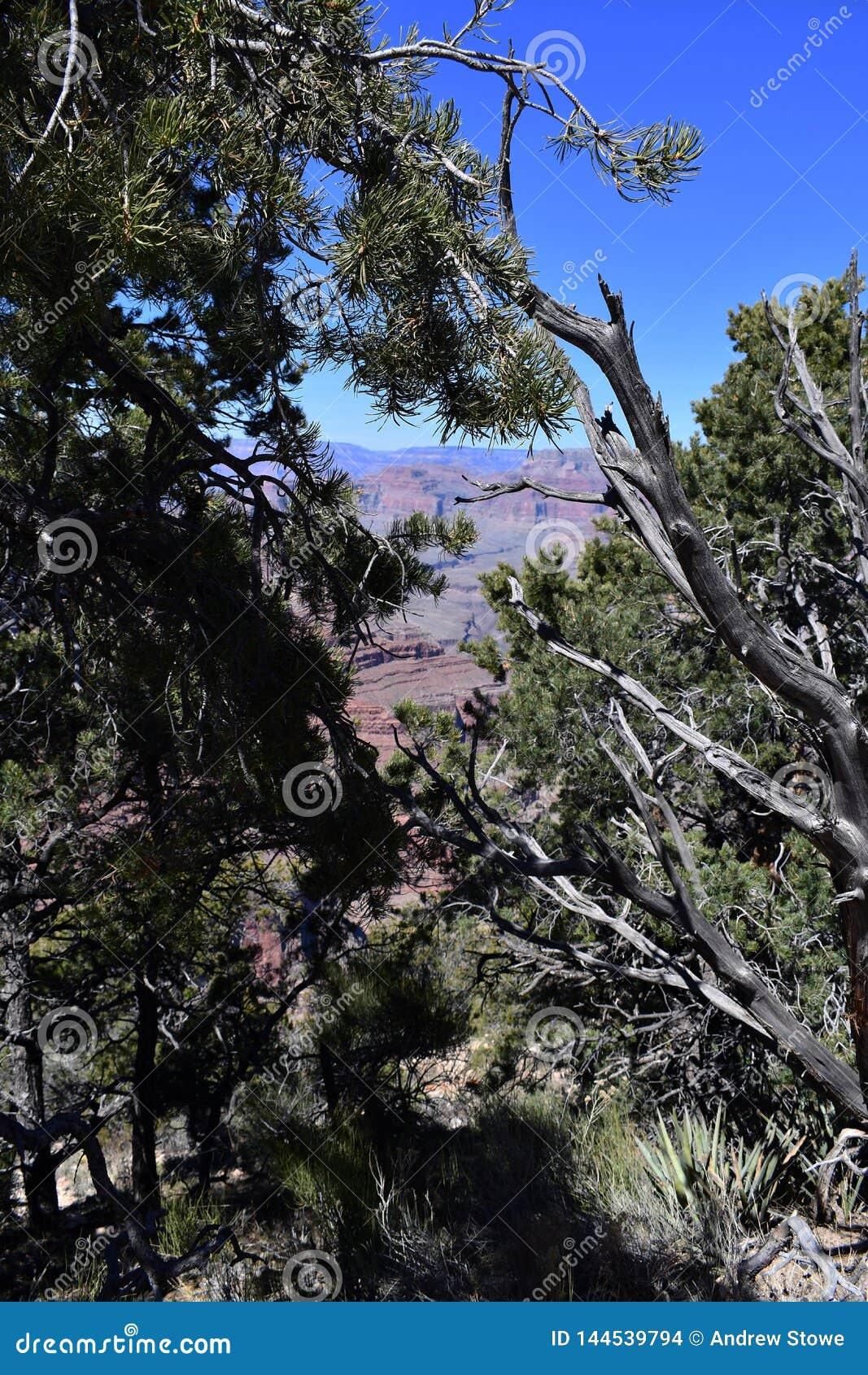 Het leven en dood van bomen in Grand Canyon