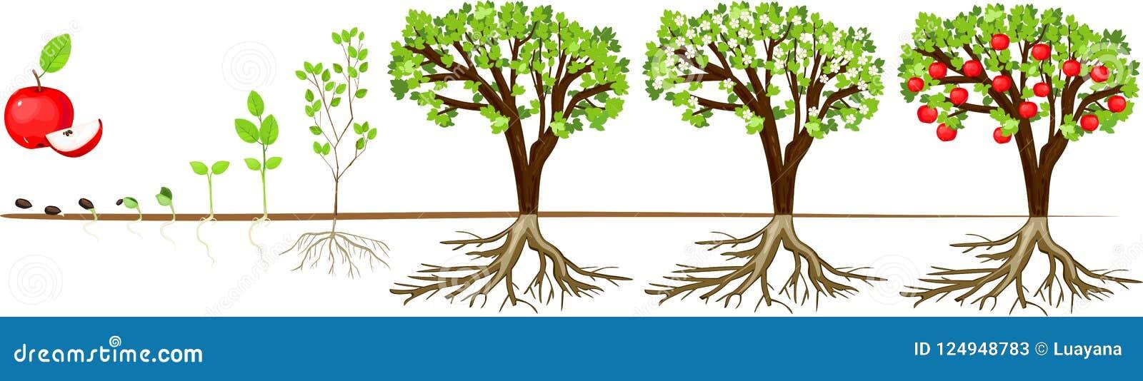 Het levenscyclus van appelboom Stadia van de groei van zaad aan volwassen installatie met vruchten