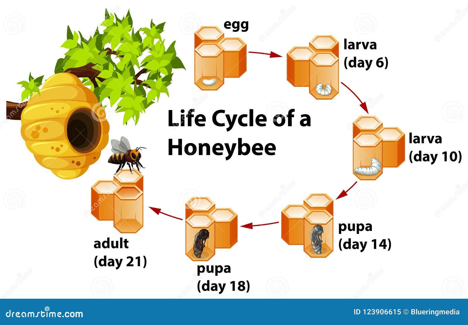 Het levenscyclus van een Honingbij
