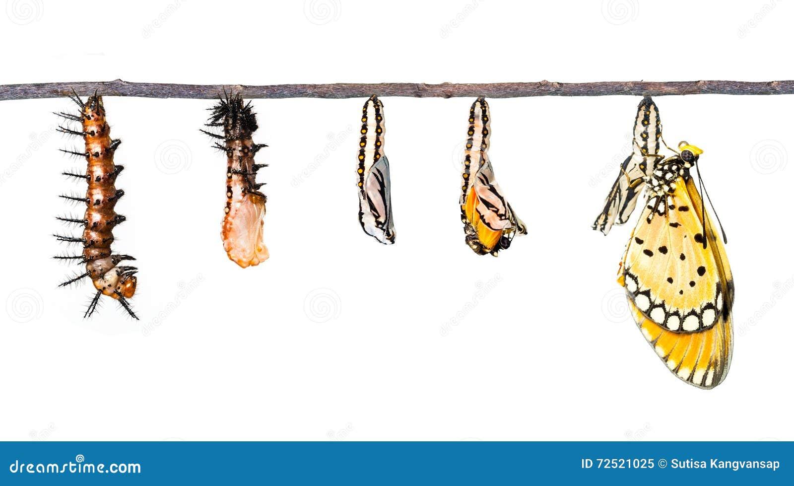 Het levenscyclus van Tawny Coster-transformatie van rupsband aan butterf