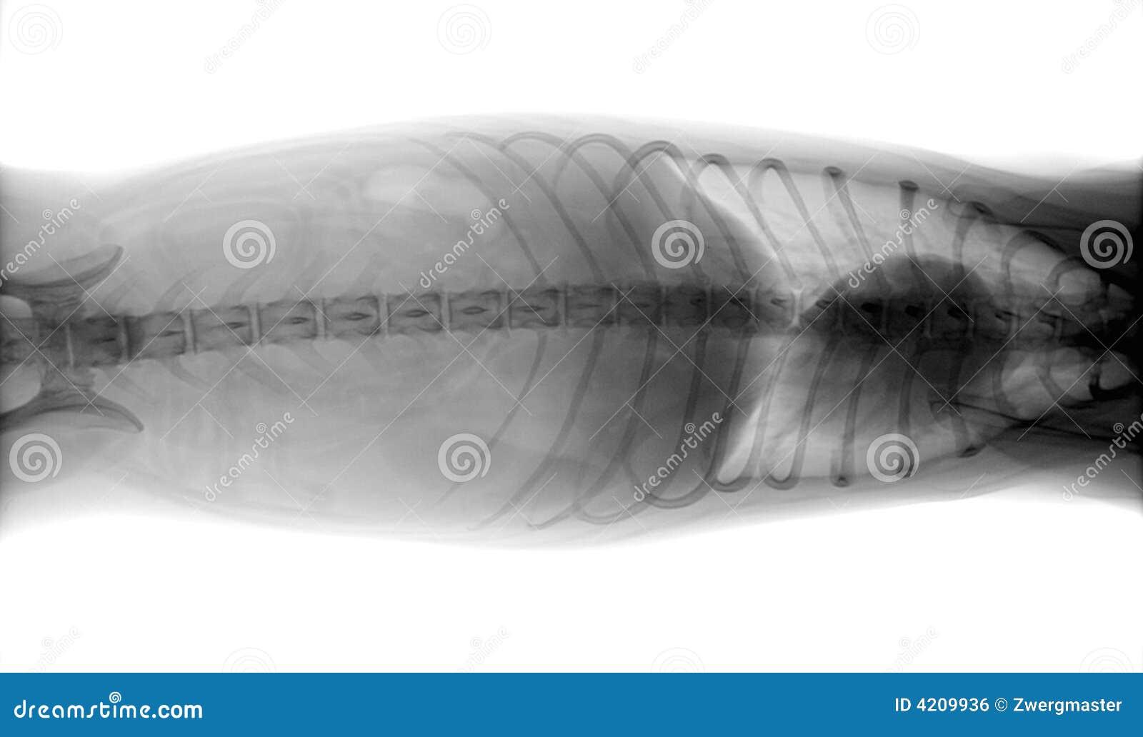 Het lichaamsröntgenstraal van de hond