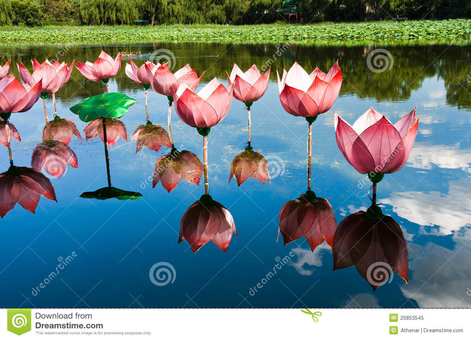 Het licht van Lotus in vijver