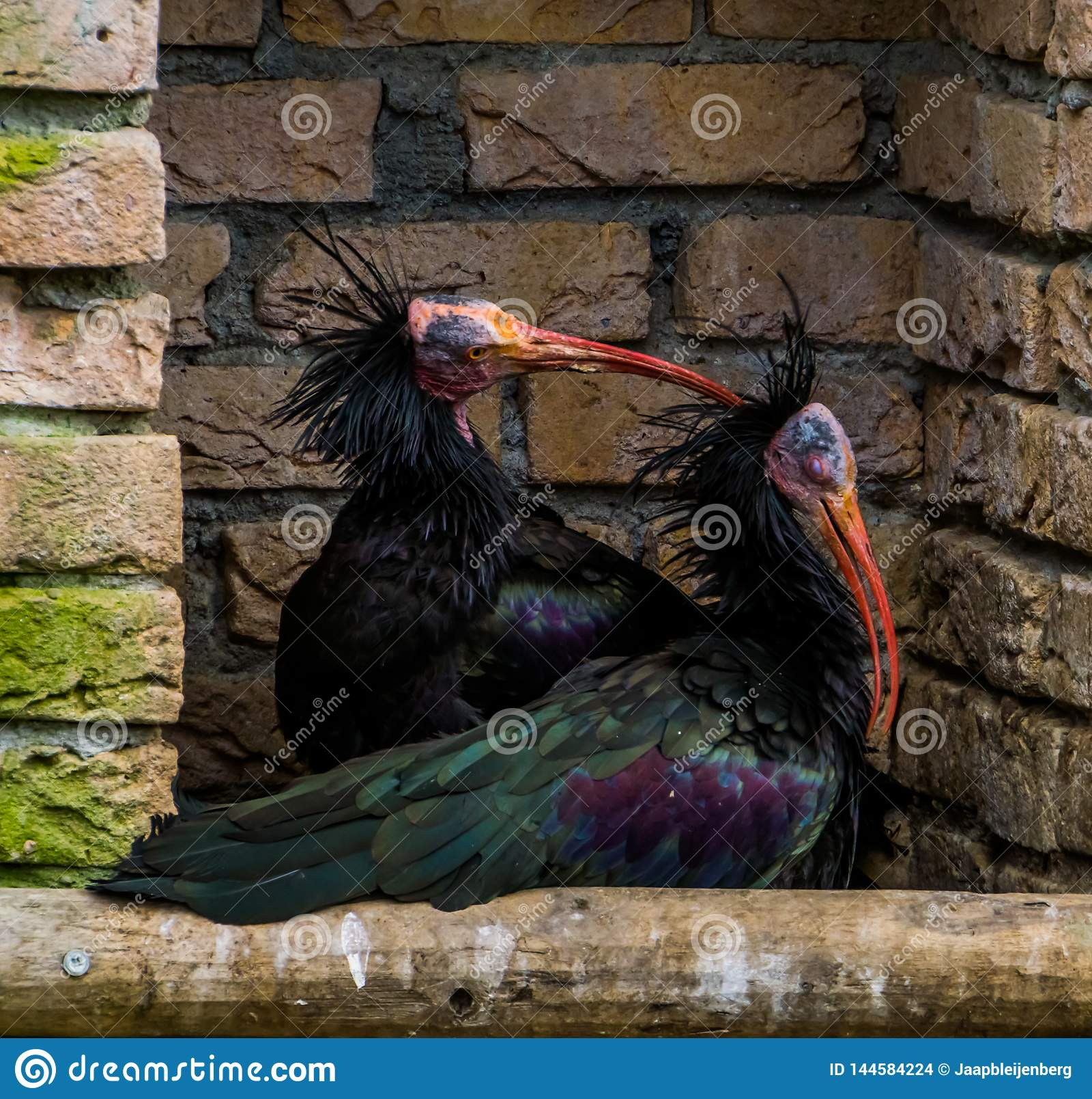 Het liefdepaar van Noordelijke kale ibissen samen, één die het hoofd van andere, grappig dierlijk gedrag krassen, bracht vogels v