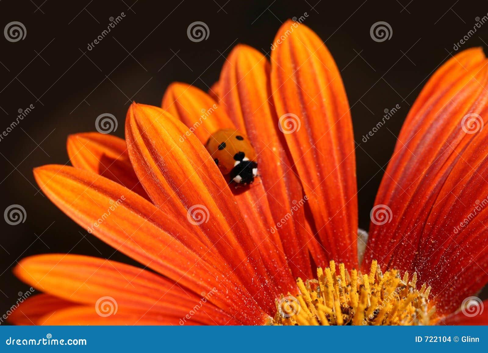 Het lieveheersbeestje kruipt op Oranje Bloemblaadje