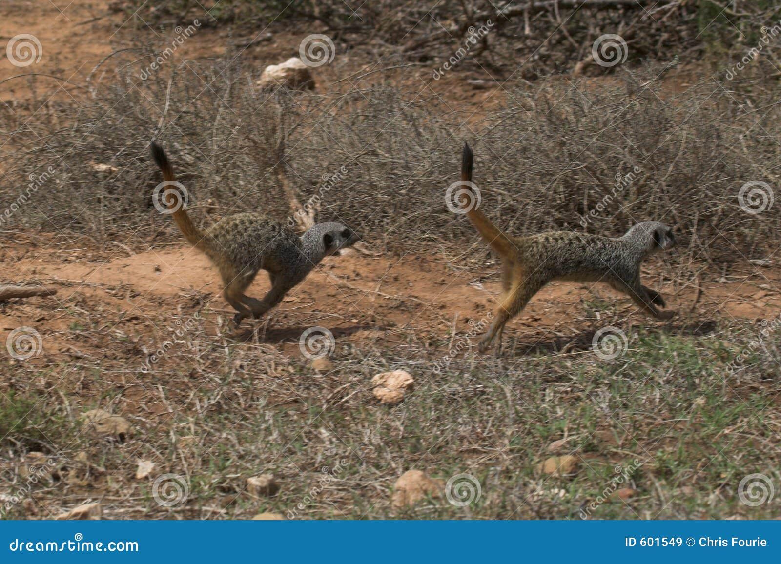 Het lopen van Meerkat