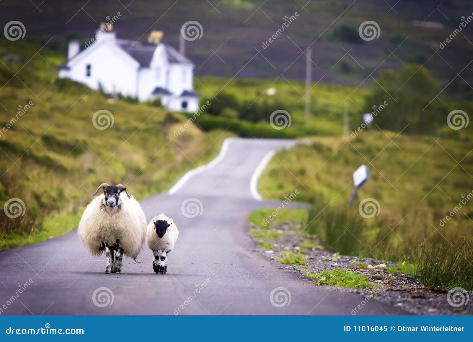 Het lopen van schapen