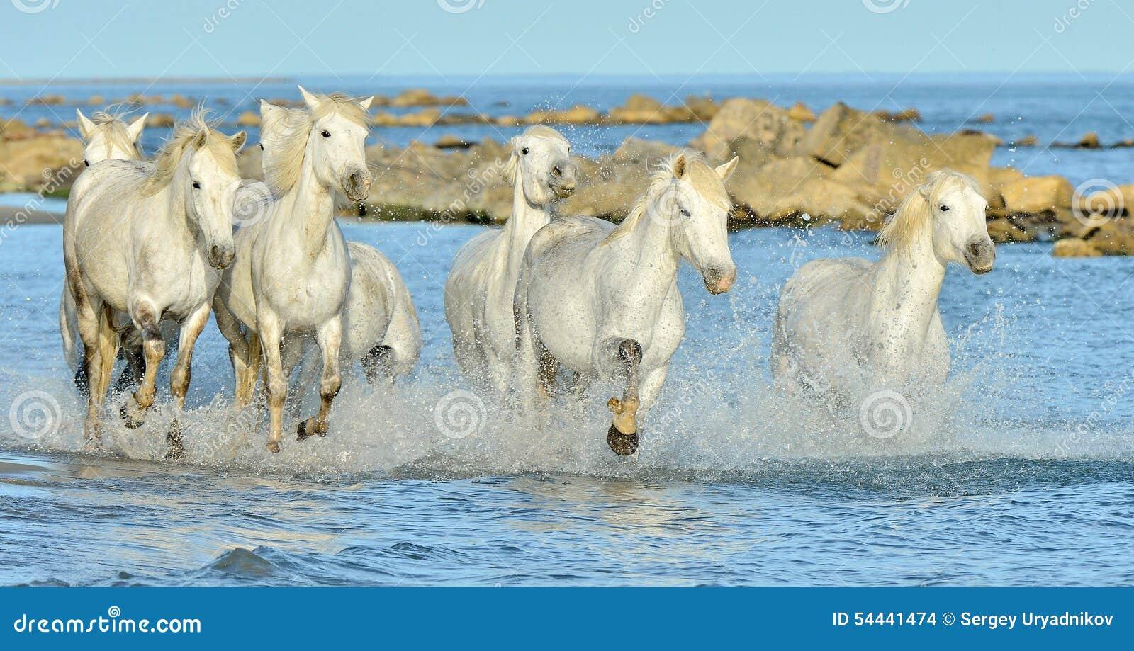 Het lopen Witte paarden door water