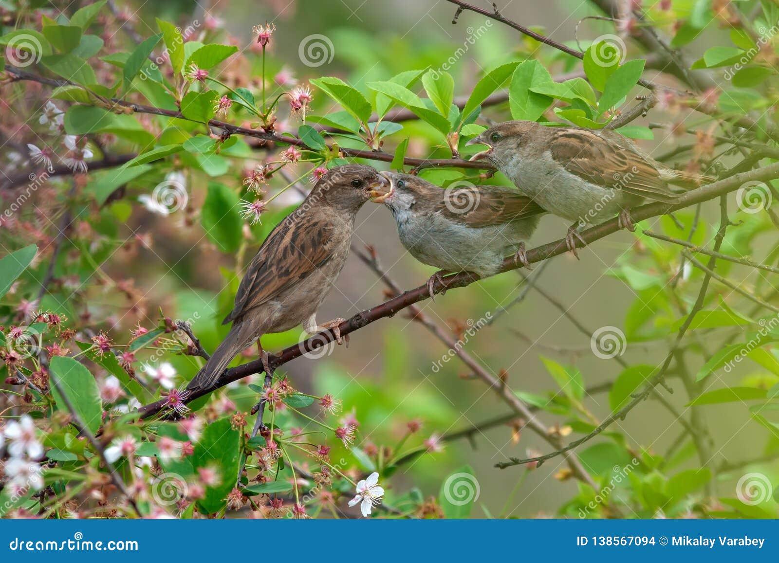 Het mamma van de huismus voedt haar kinderen in kersenboom