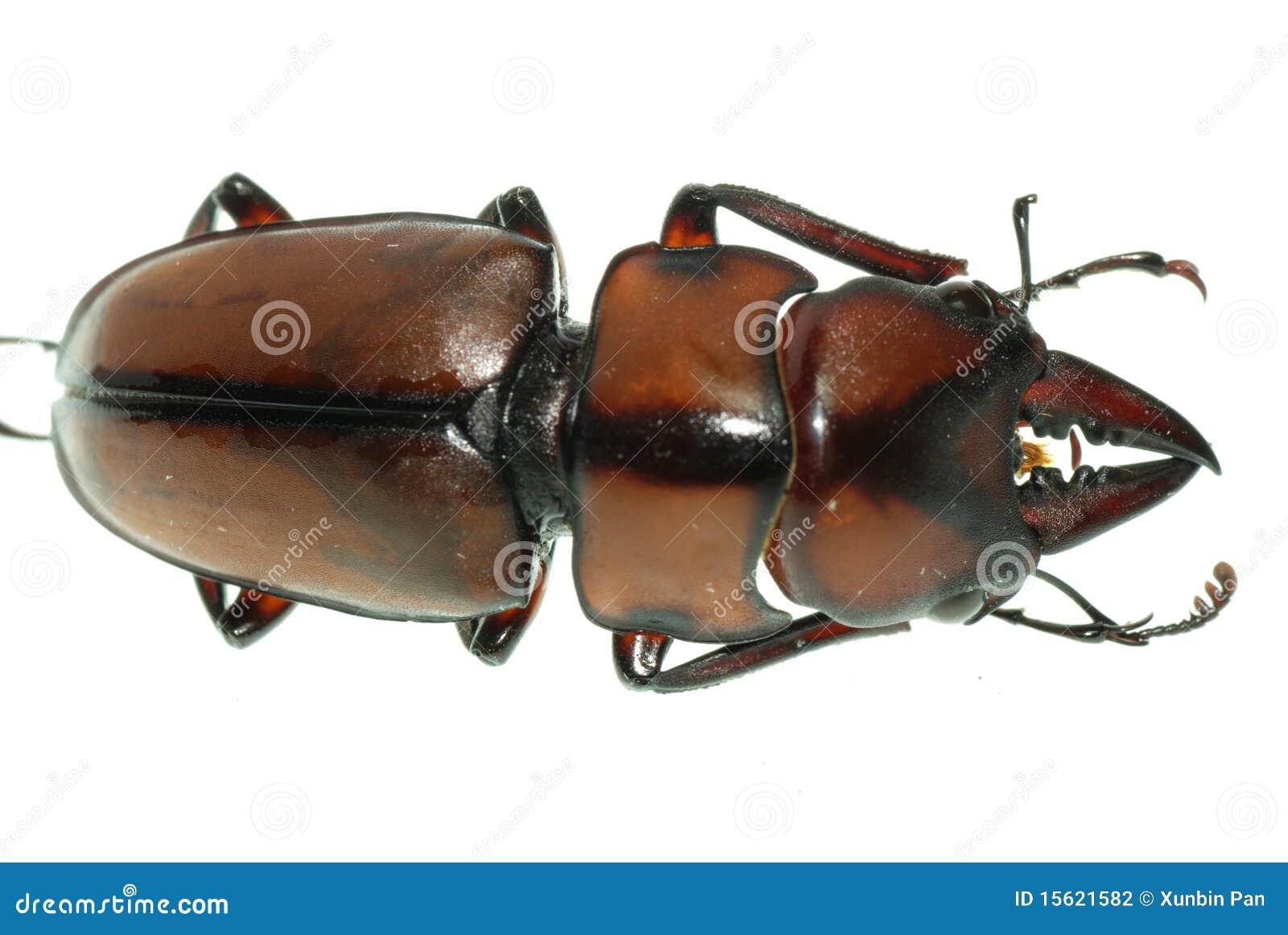 Het mannetjeskever van het insect