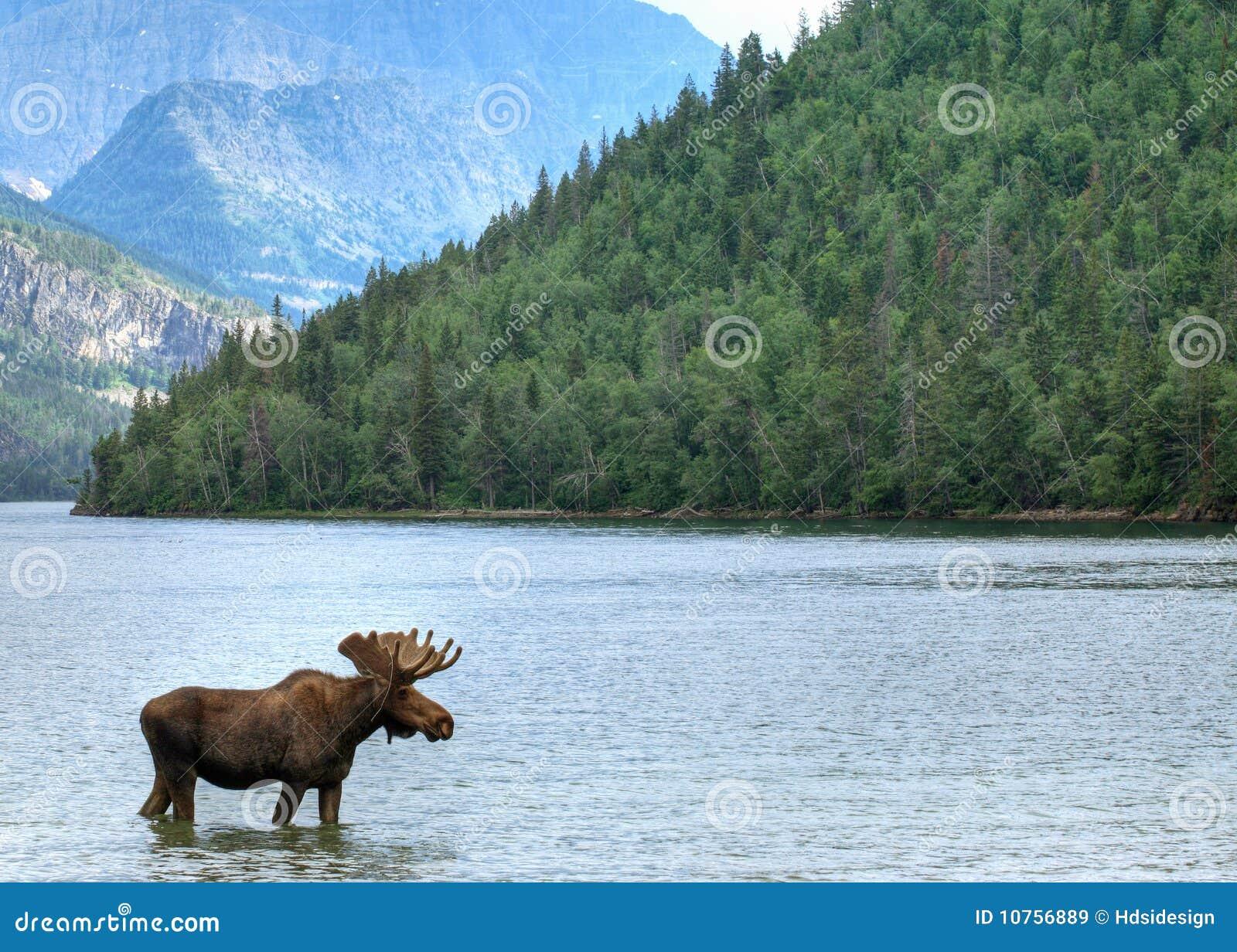 Het meer en de Amerikaanse elanden van Waterton