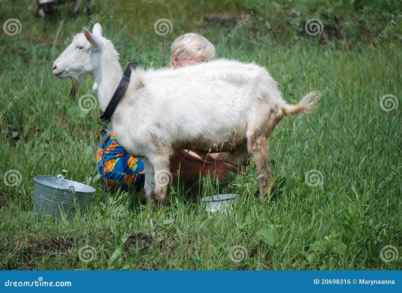 Het melken van de geit