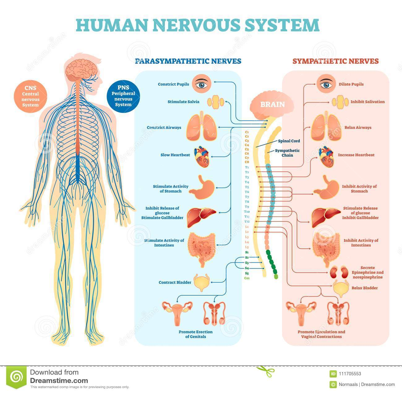 Het menselijke diagram van de zenuwstelsel medische vectorillustratie met parasympathetic en sympathieke zenuwen en verbonden bin
