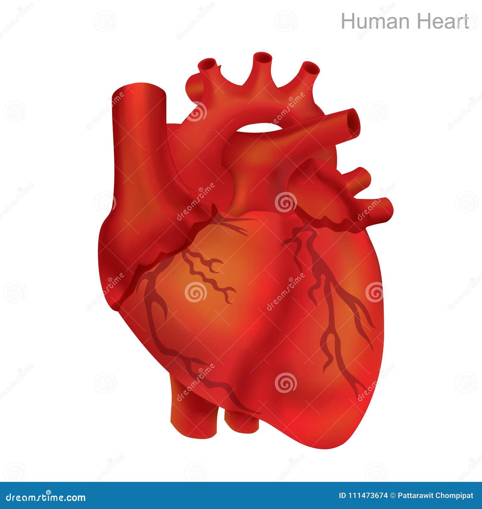 Het menselijke Hart isoleert Angioplasty is een endovascular procedure om versmalde of belemmerde slagaders of aders, typisch aan
