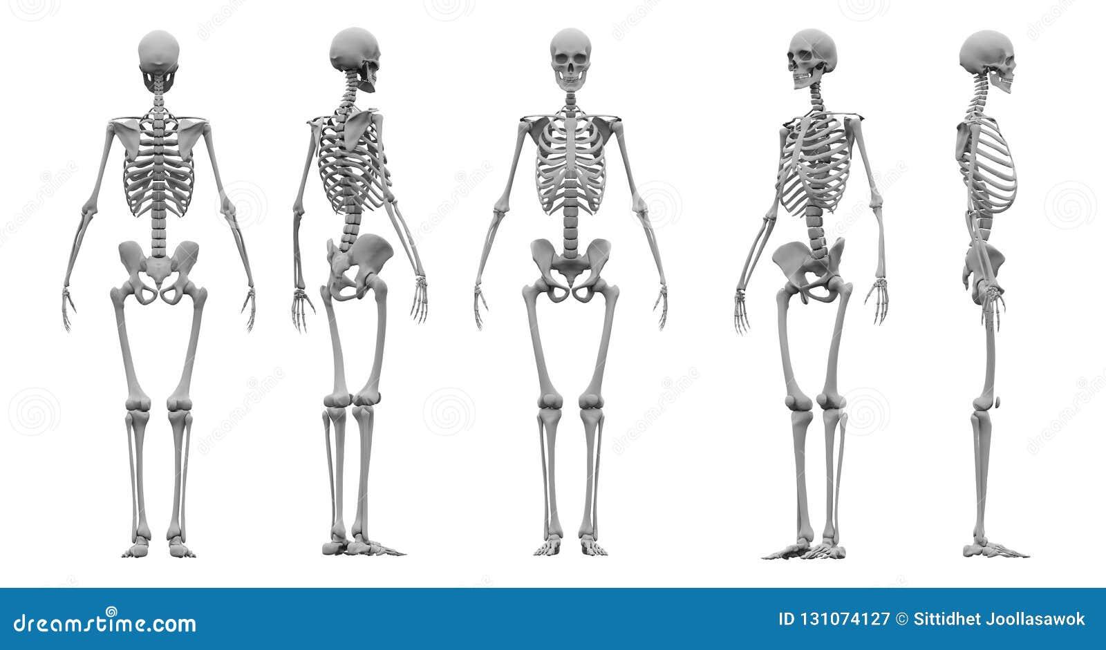 Het menselijke skelet vastgestelde 3d teruggeven