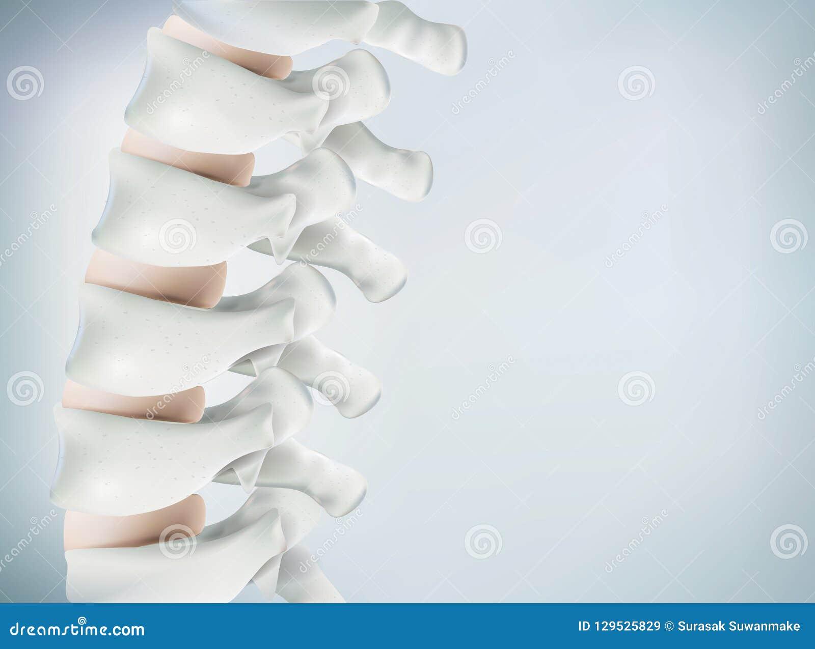 Het menselijke stekelbeeld is realistisch Toont de medische nauwkeurigheid van menselijk skelet en het 3D teruggeven