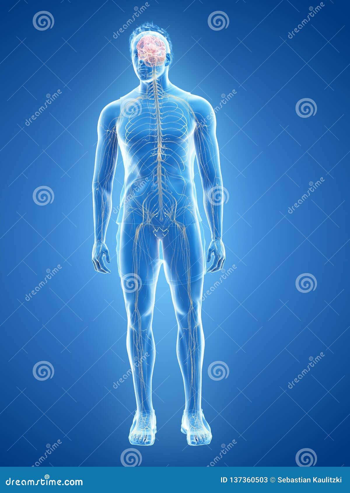 Het menselijke zenuwstelsel