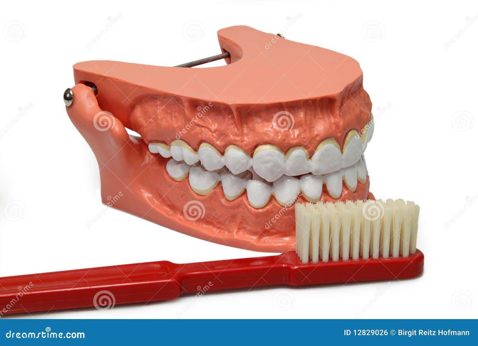 Het model van tanden