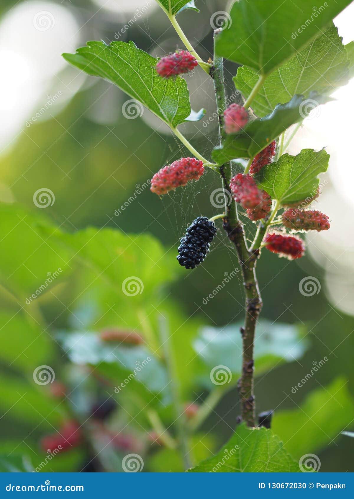Het moerbeiboomfruit is een veelvoudig fruit