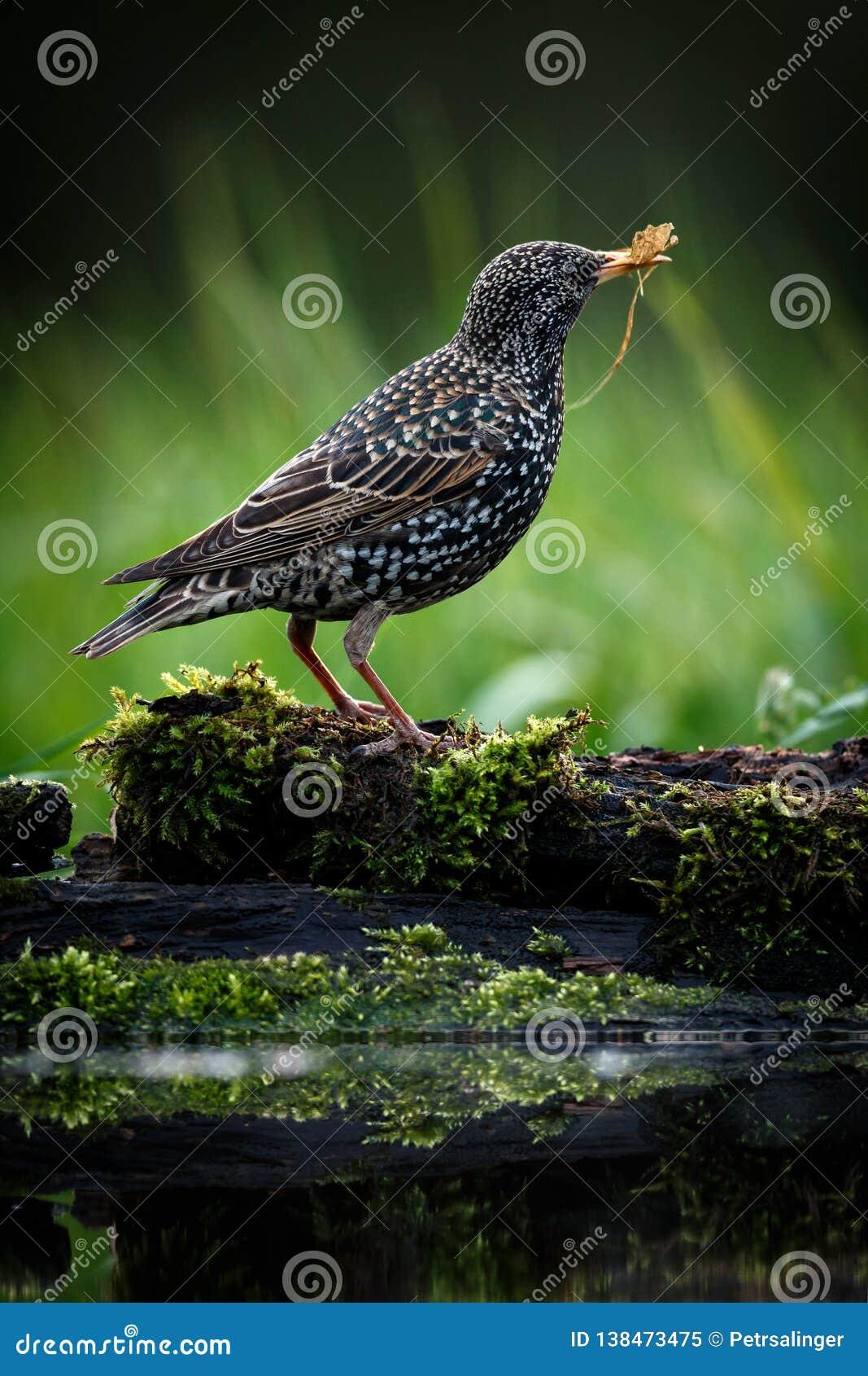 Het mooie beeld van het Gemeenschappelijke starling - vulgaris Sturnus Vogel op vage groene achtergrond