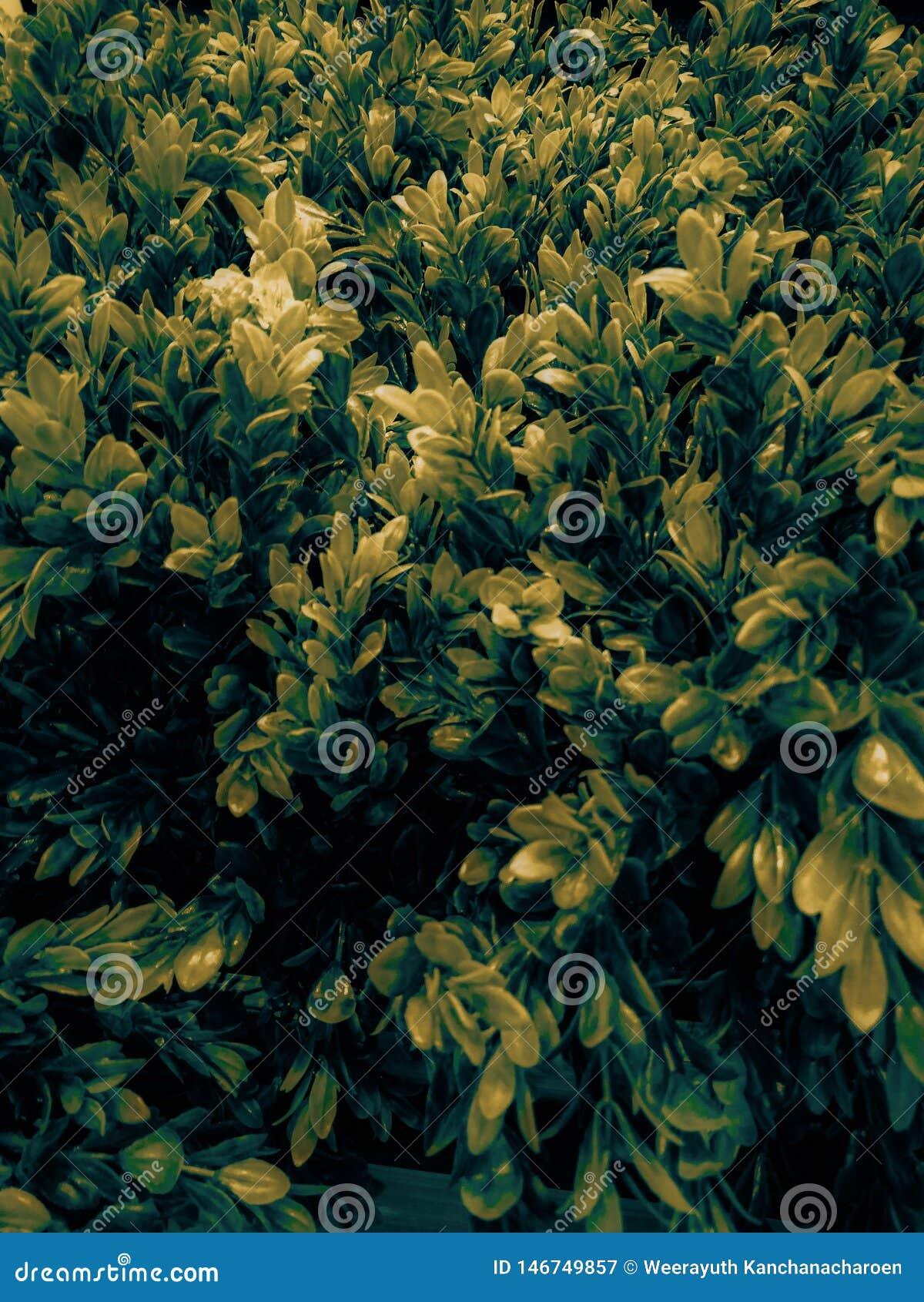 Het mooie blad van de close-upboom of gele de kleuren sierplanten van de verlofillustratie in de ruimte en de tuin
