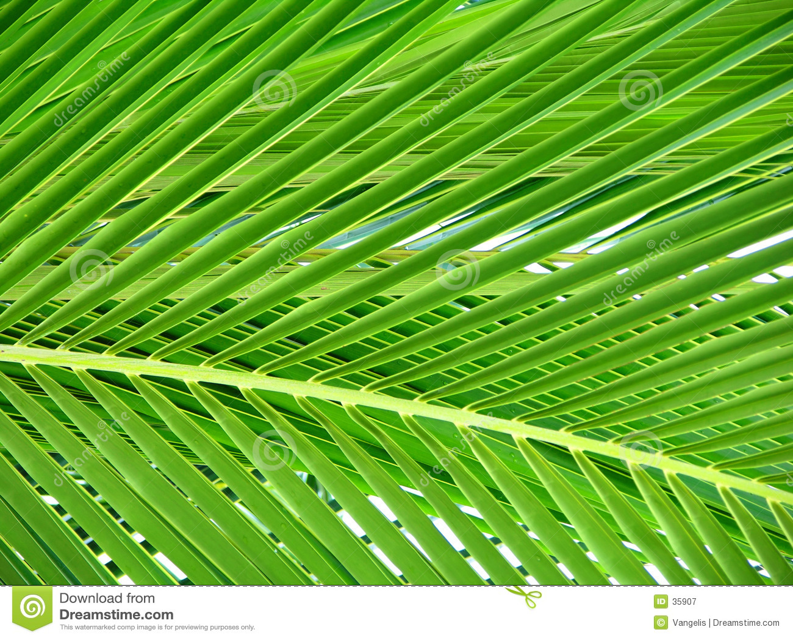 Het mooie Blad van de Palm