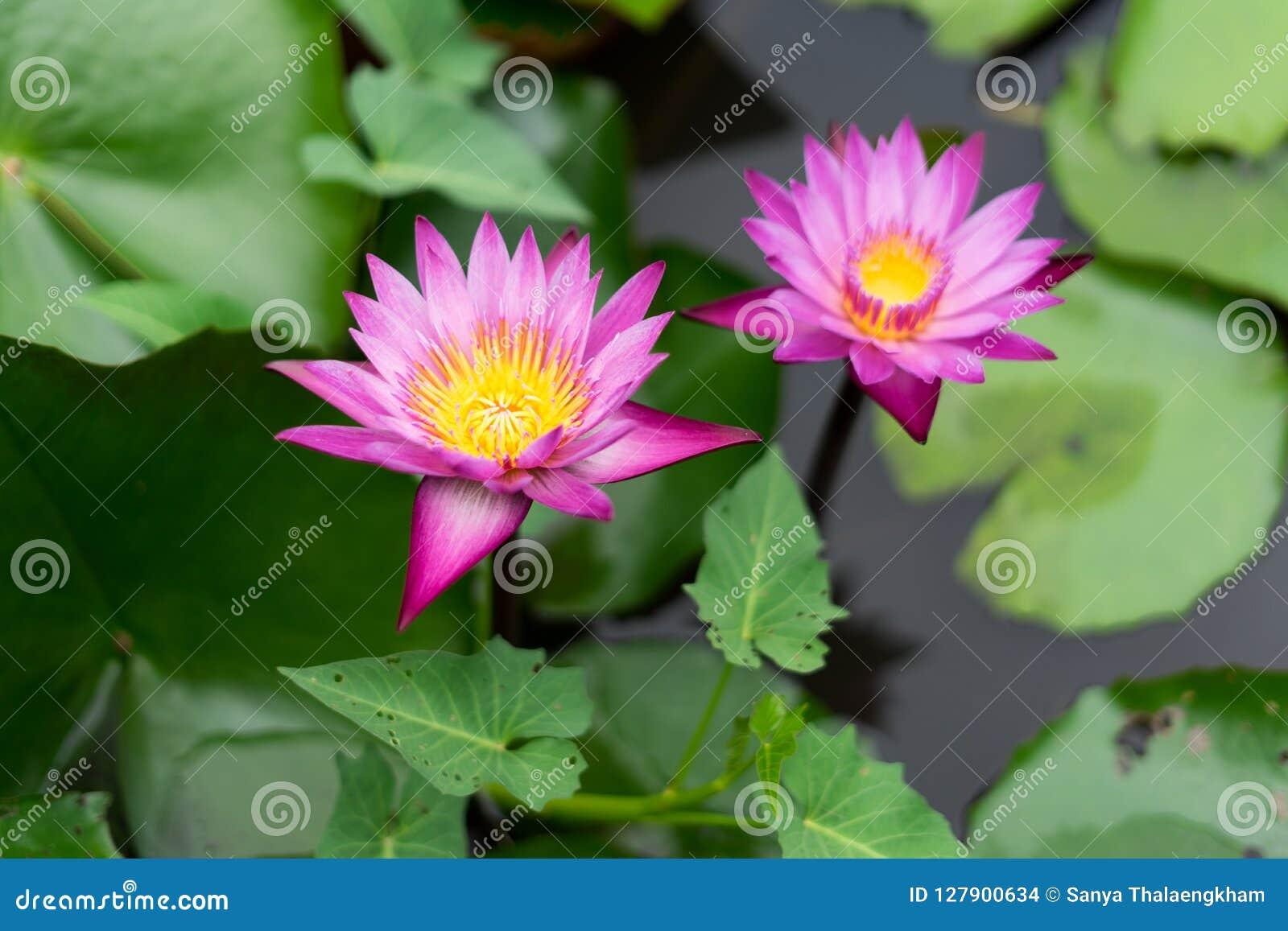 Het is mooie bloem Roze Lotus in Rode Lotus Floating Maket Ba