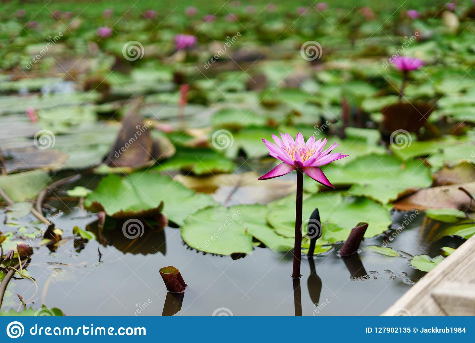Het is mooie bloem Roze Lotus in Rode Lotus Floating Maket Ba