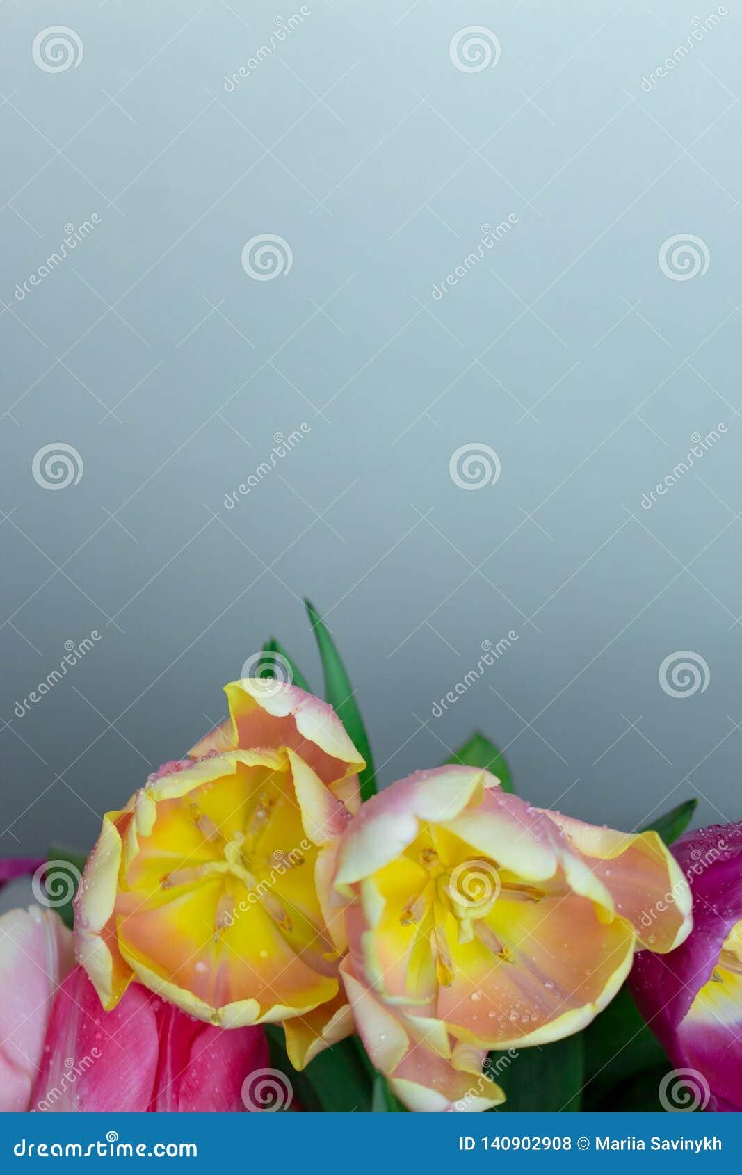 Het mooie boeket van verse kleurrijke roze purpere gele tulpen bloeit op grijze neutrale achtergrond met copyspace