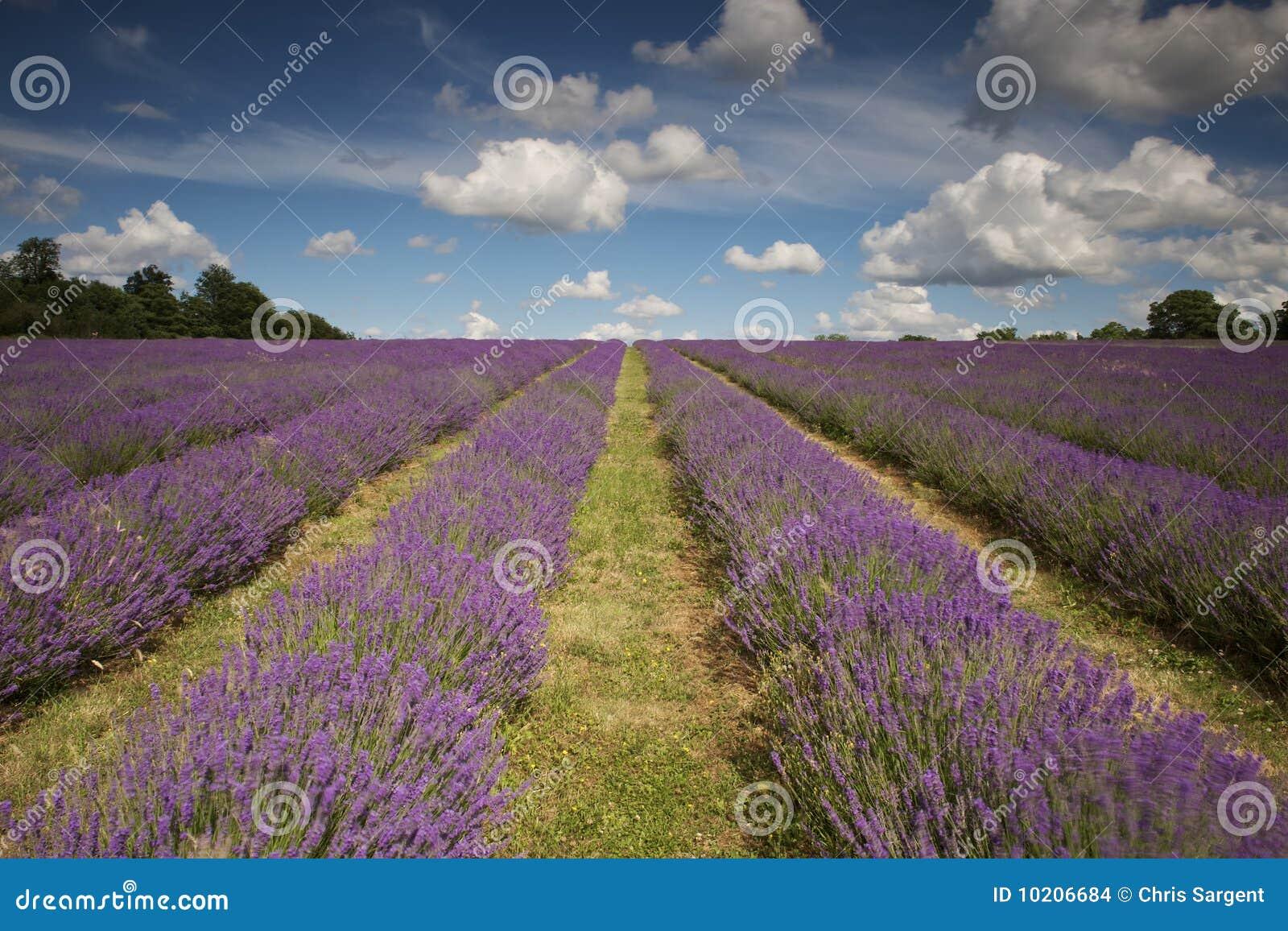 Het mooie Gebied van de Lavendel