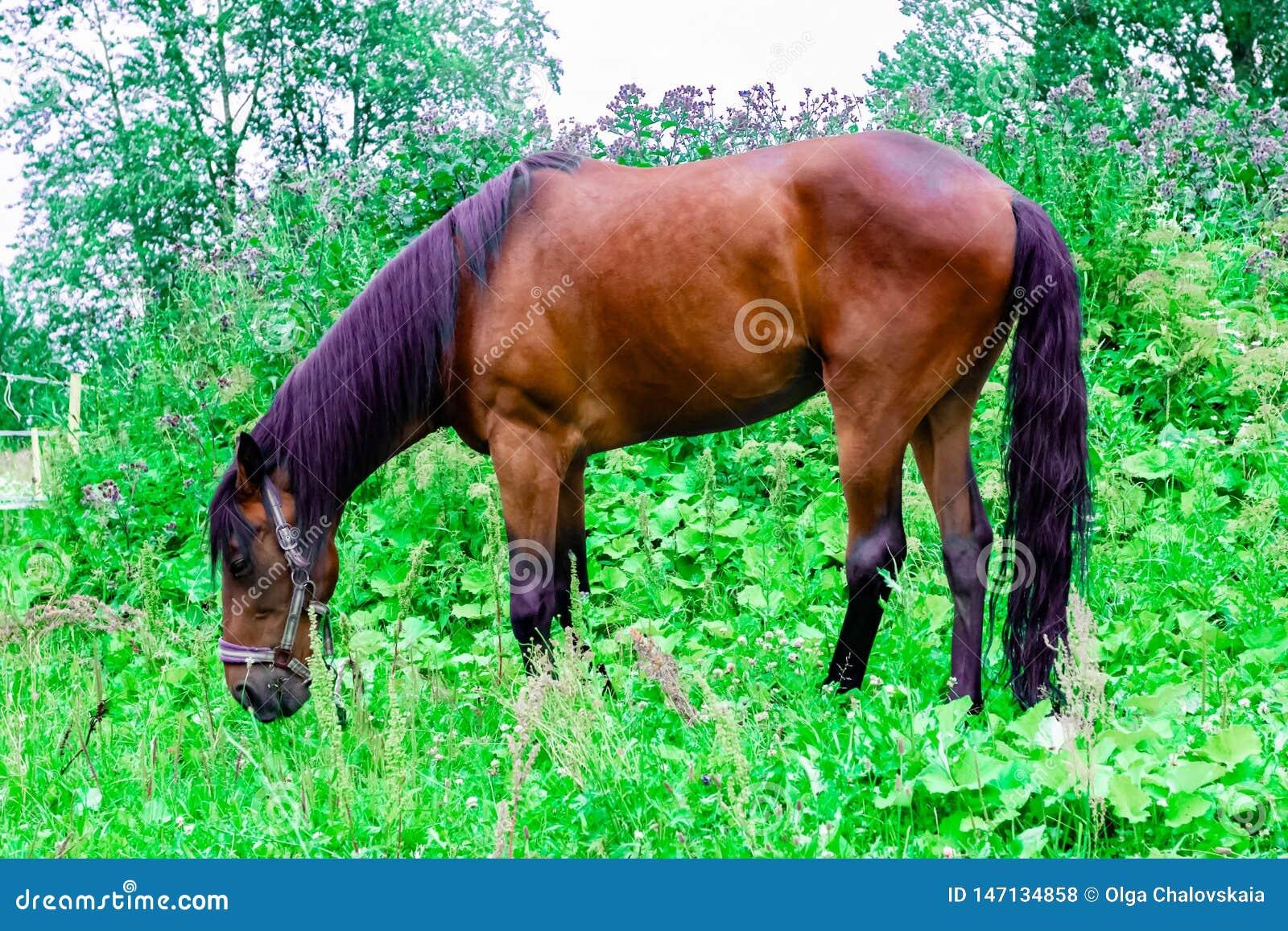 Het mooie kastanjepaard met zwarte en purpere manen weidt op een groen weiland
