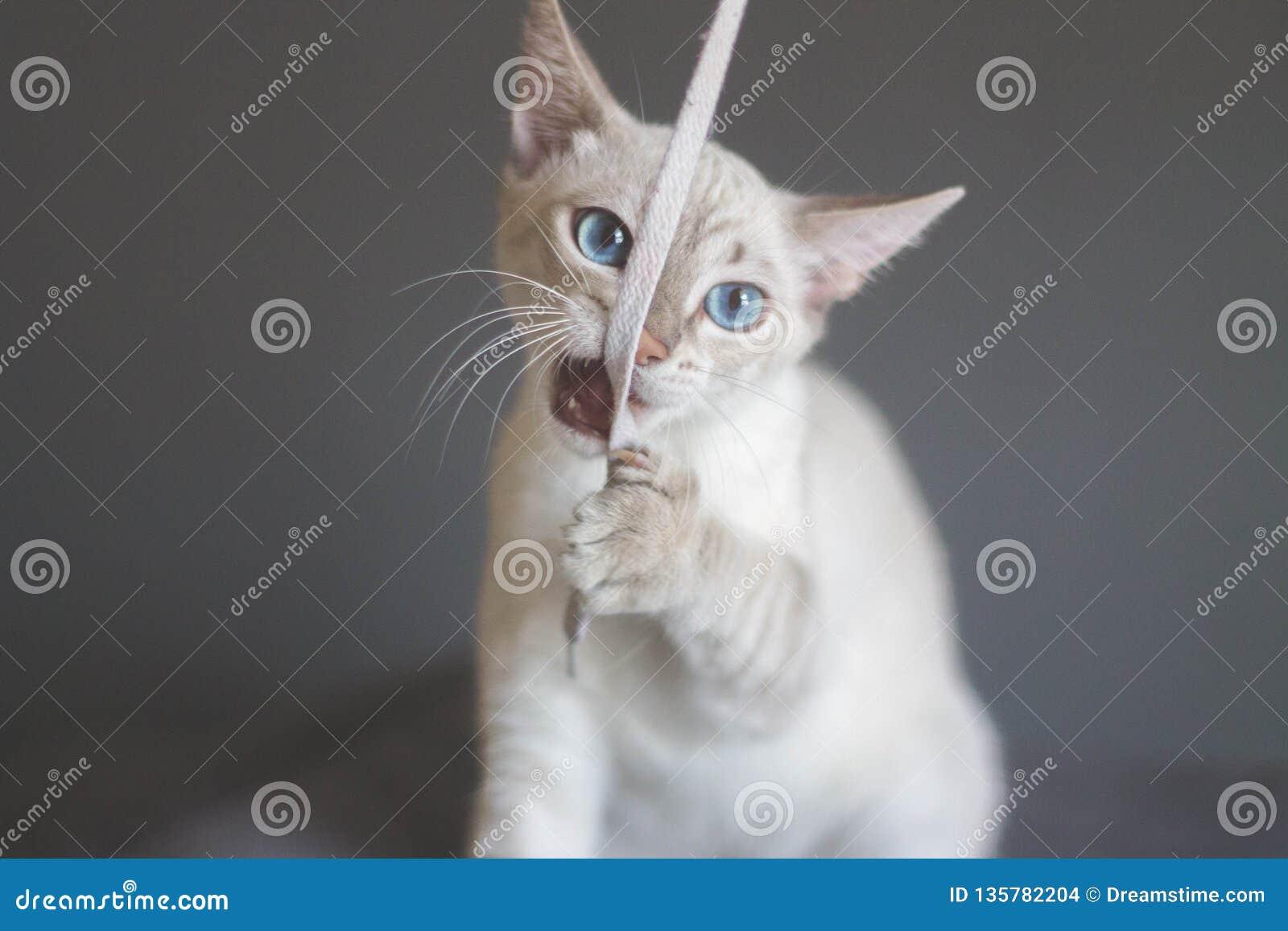 Het mooie kat spelen met schoenveter op een grijze achtergrond Kat het spelen stuk speelgoed
