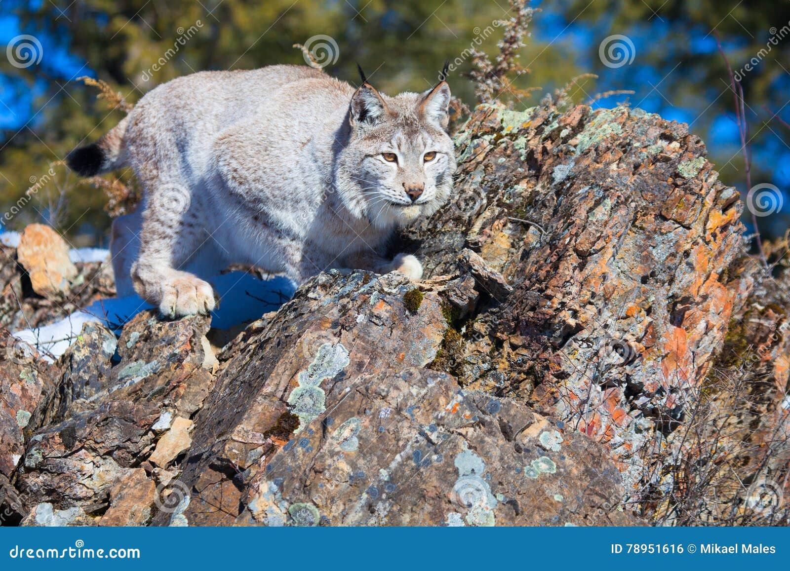 Het mooie lynx bevestigen aan sprong op prooi
