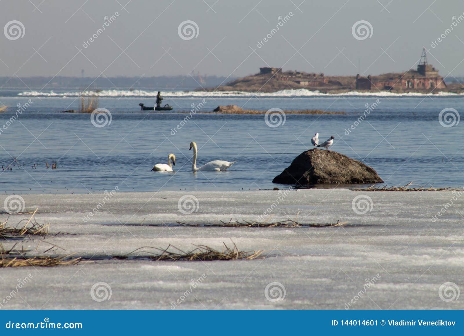 Het mooie paar van witte zwanen zwemt in het meer, dat gedeeltelijk met ijs op een zonnige dag in de lente wordt behandeld
