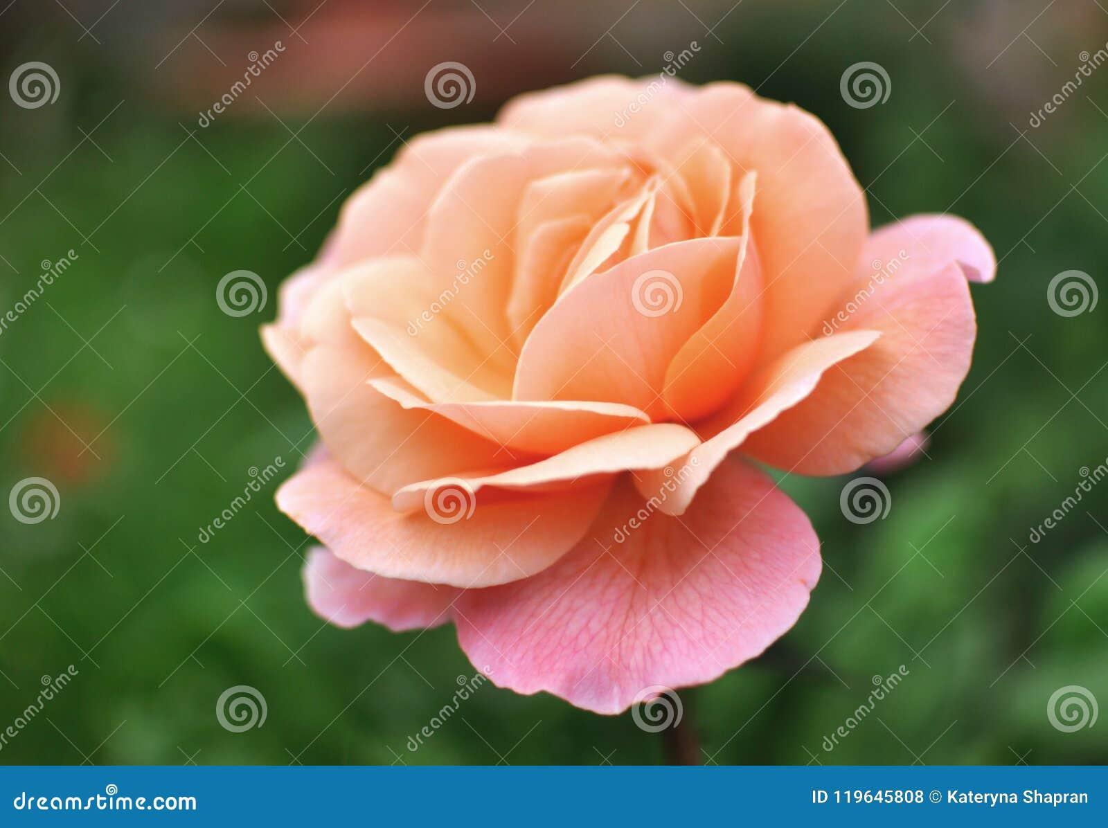 Het mooie roze Engelse koraal nam, groene backgroung toe