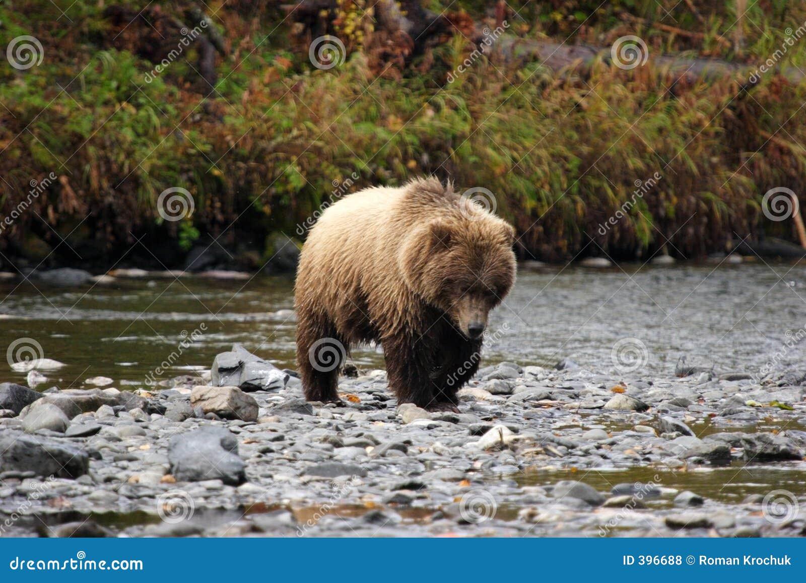 Het naderbij komen van de grizzly