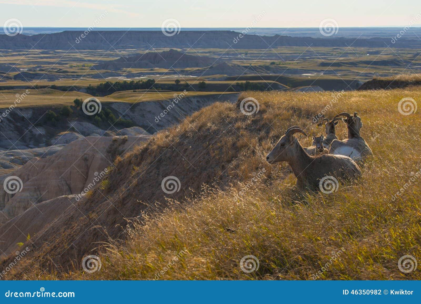 Het Nationale Park van Badlands van Bighornschapen onbeweeglijk