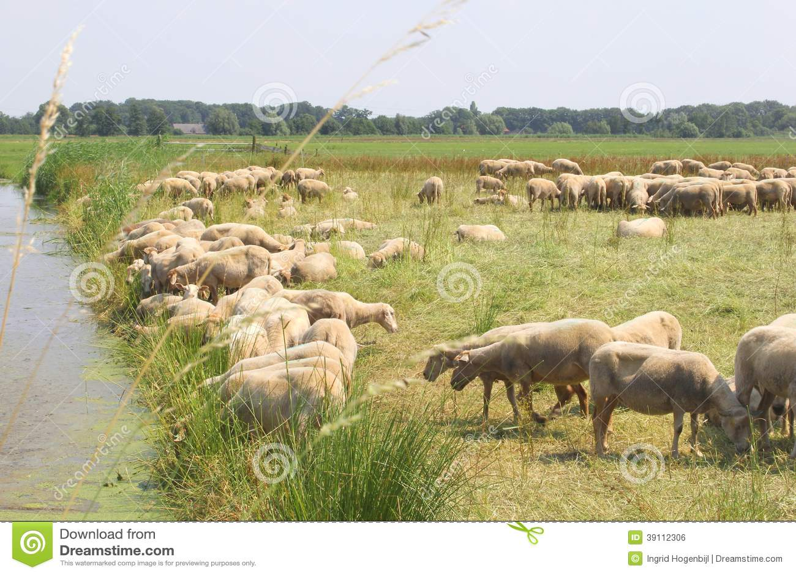 Het Nederlandse landschap van de polder met een troep van schapen