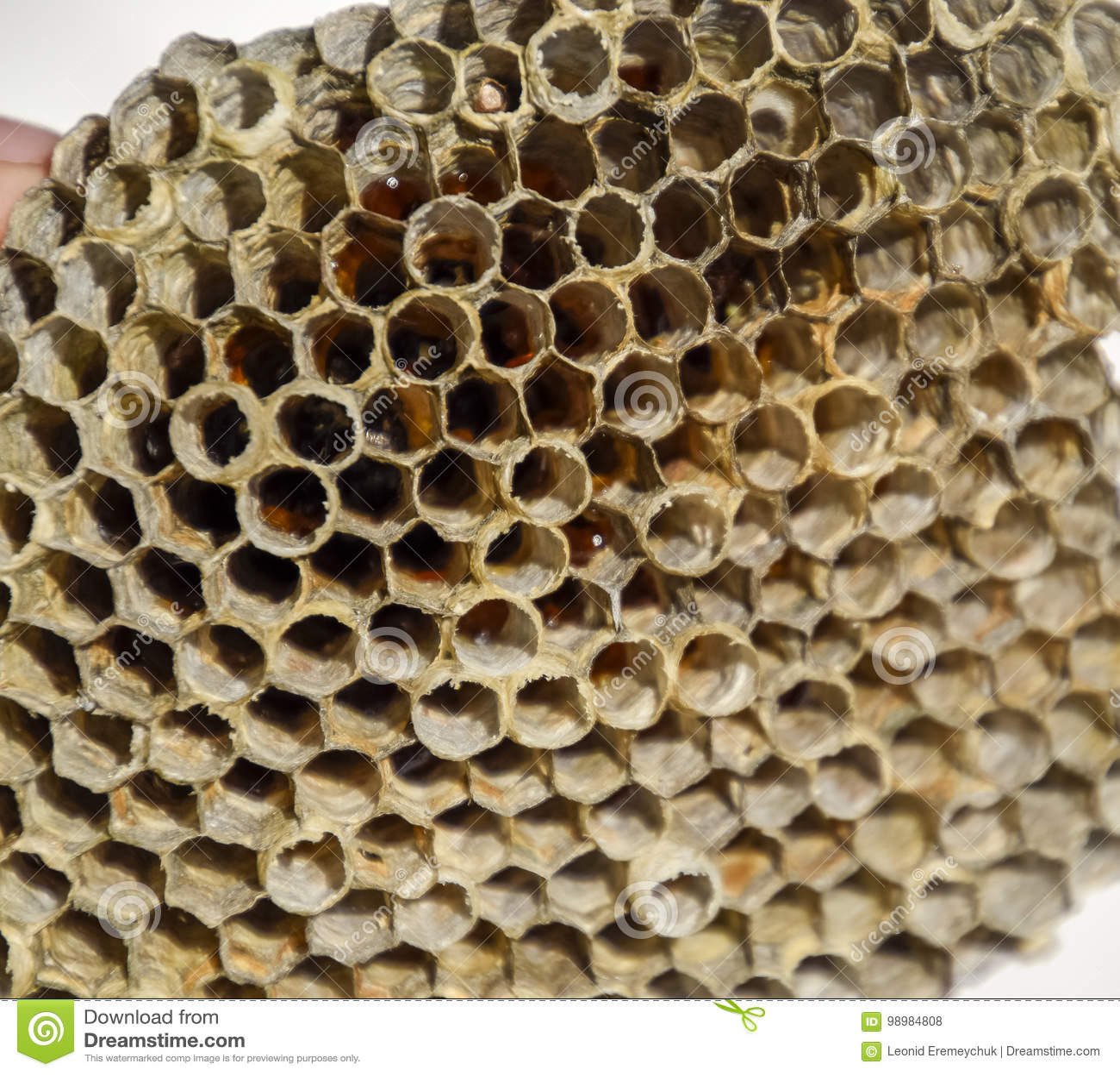 Het nest is esp, polist het espnest aan het eind van het het fokkenseizoen Voorraden van honing in honingraten Esphoning Vespa