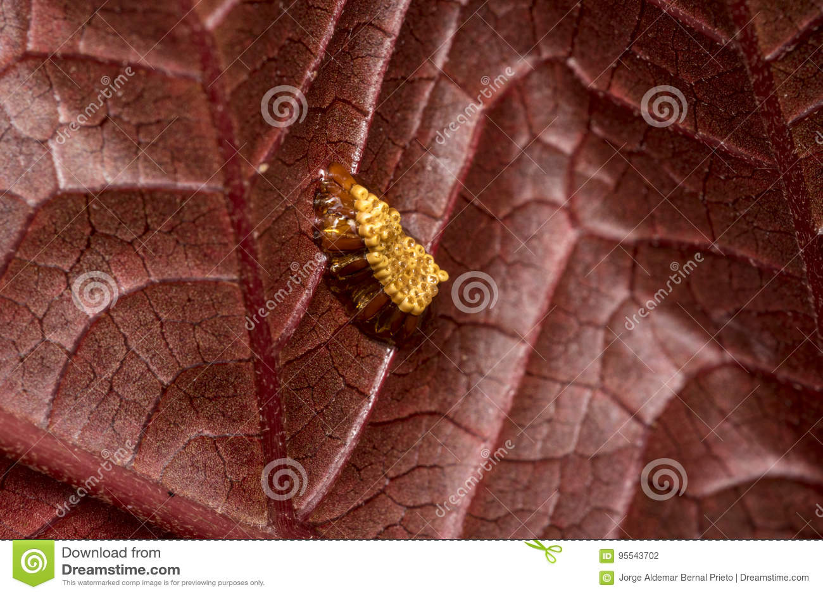 Het nest van het Madureinsect op een rood boomblad