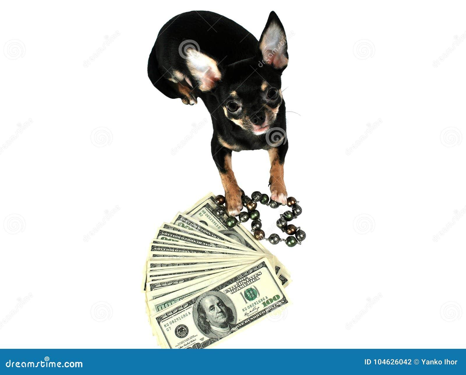 Download Het Nieuwe Jaar 2018 Van Het Chihuahuapuppy Stock Foto - Afbeelding bestaande uit chihuahua, gekleurd: 104626042