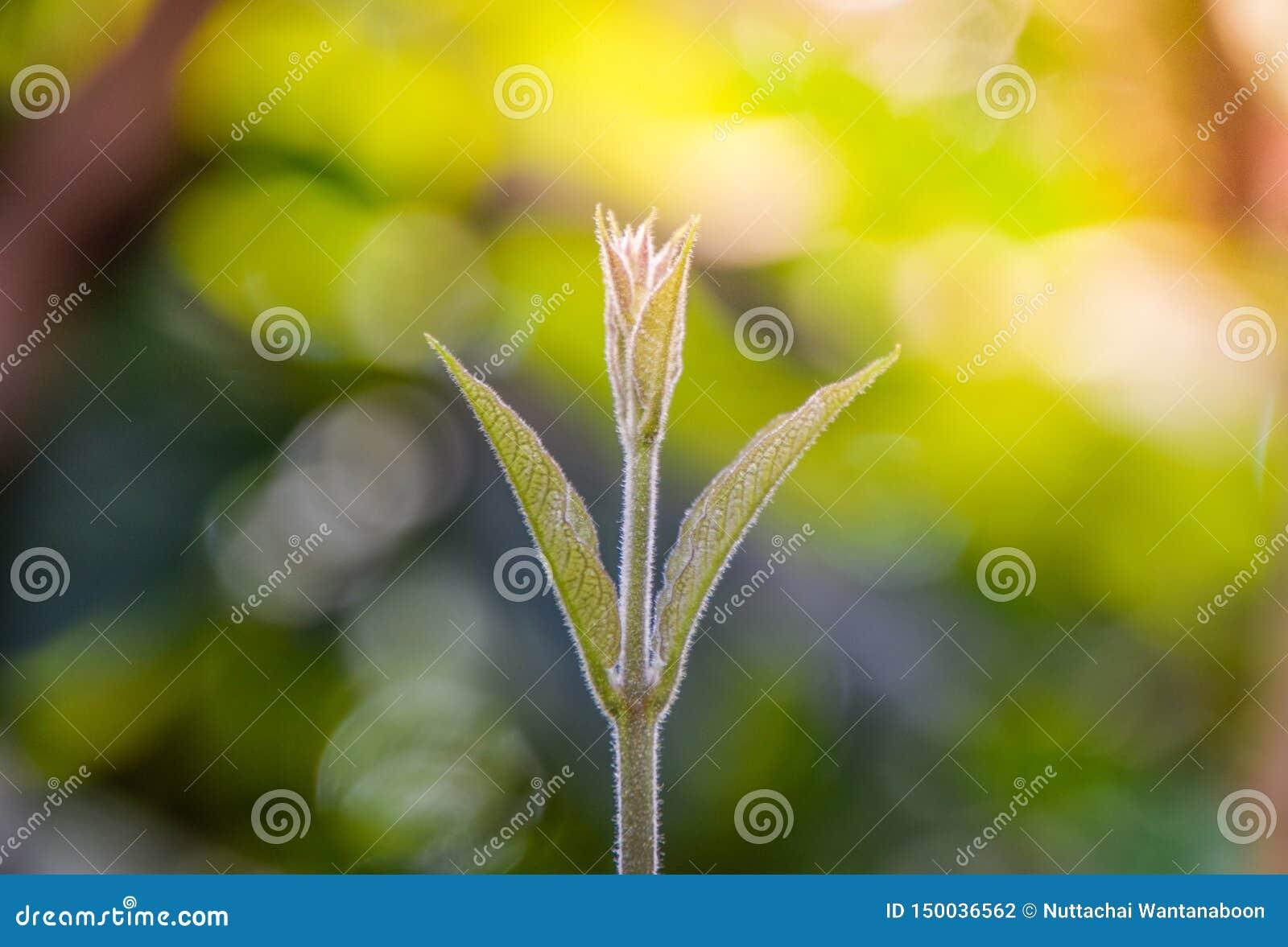 Het nieuwe leven: De zachte spruiten van bomen in de ochtend op vage bokeh aardachtergrond, Zachte spruiten van Schuurpapierwijns