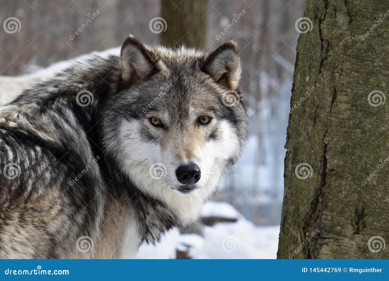 Het onderzoeken van de ogen van een Houtwolf