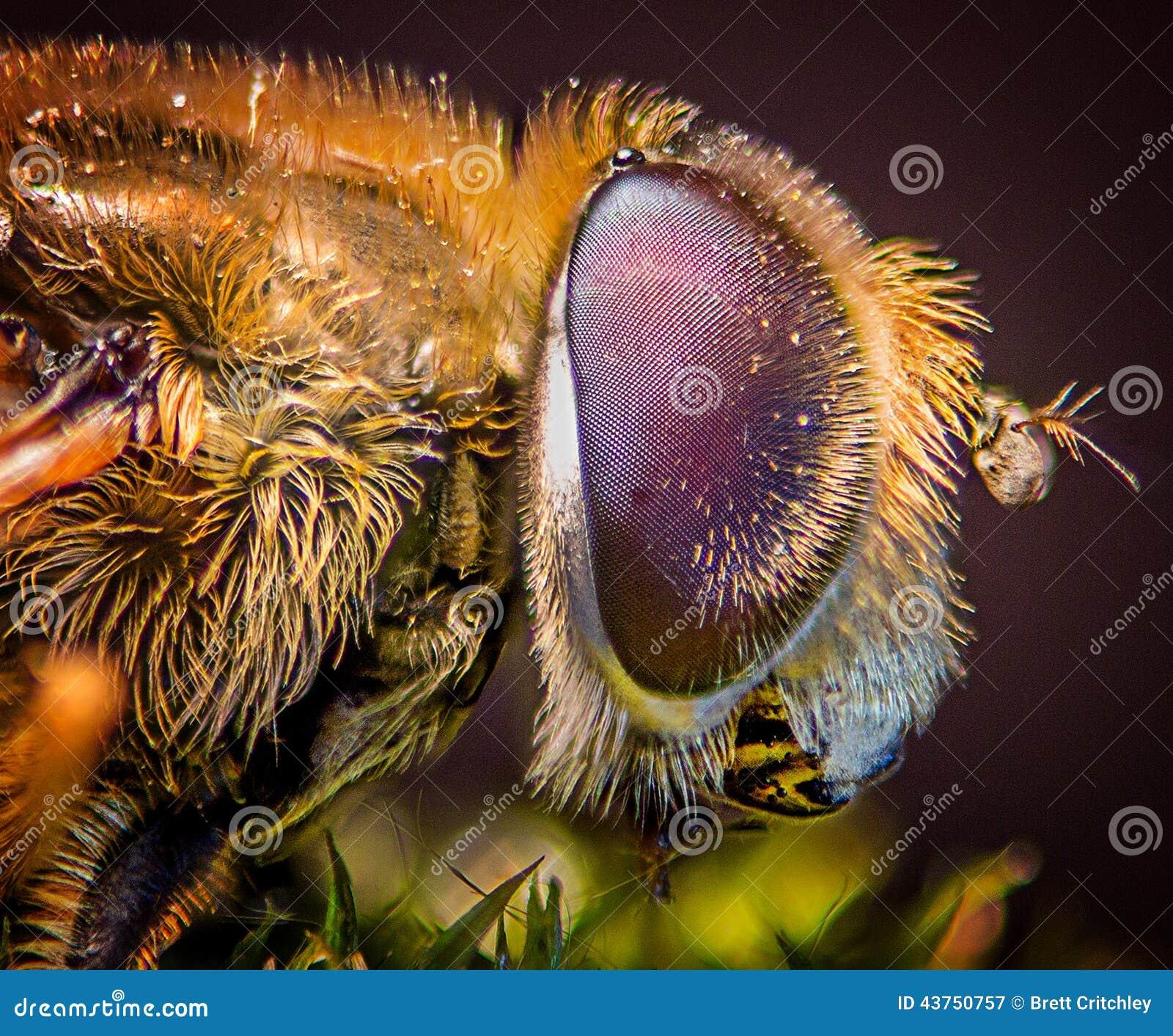 Het oogmacro van de samenstellingsvlieg