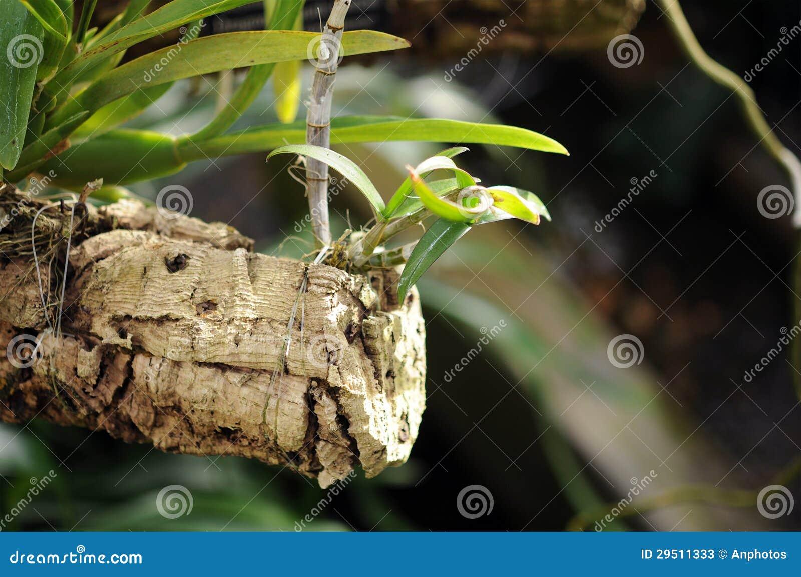Het opheffen van orchidee