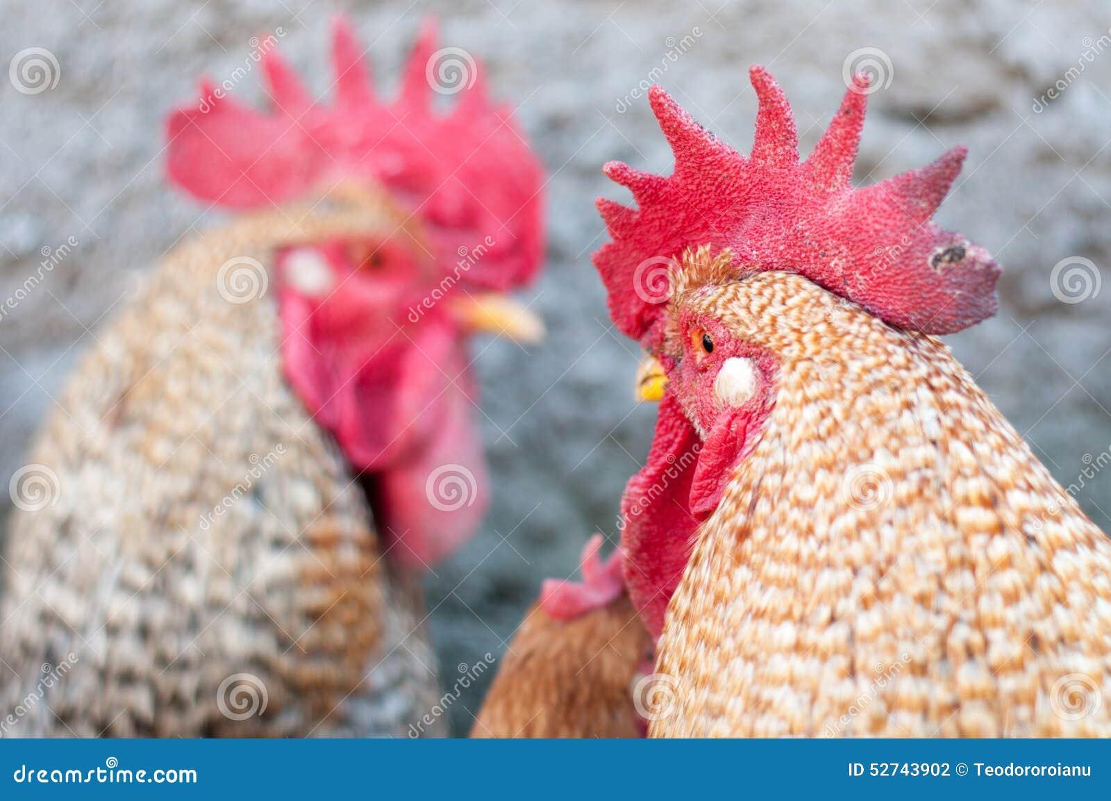Het opleggen van hanen