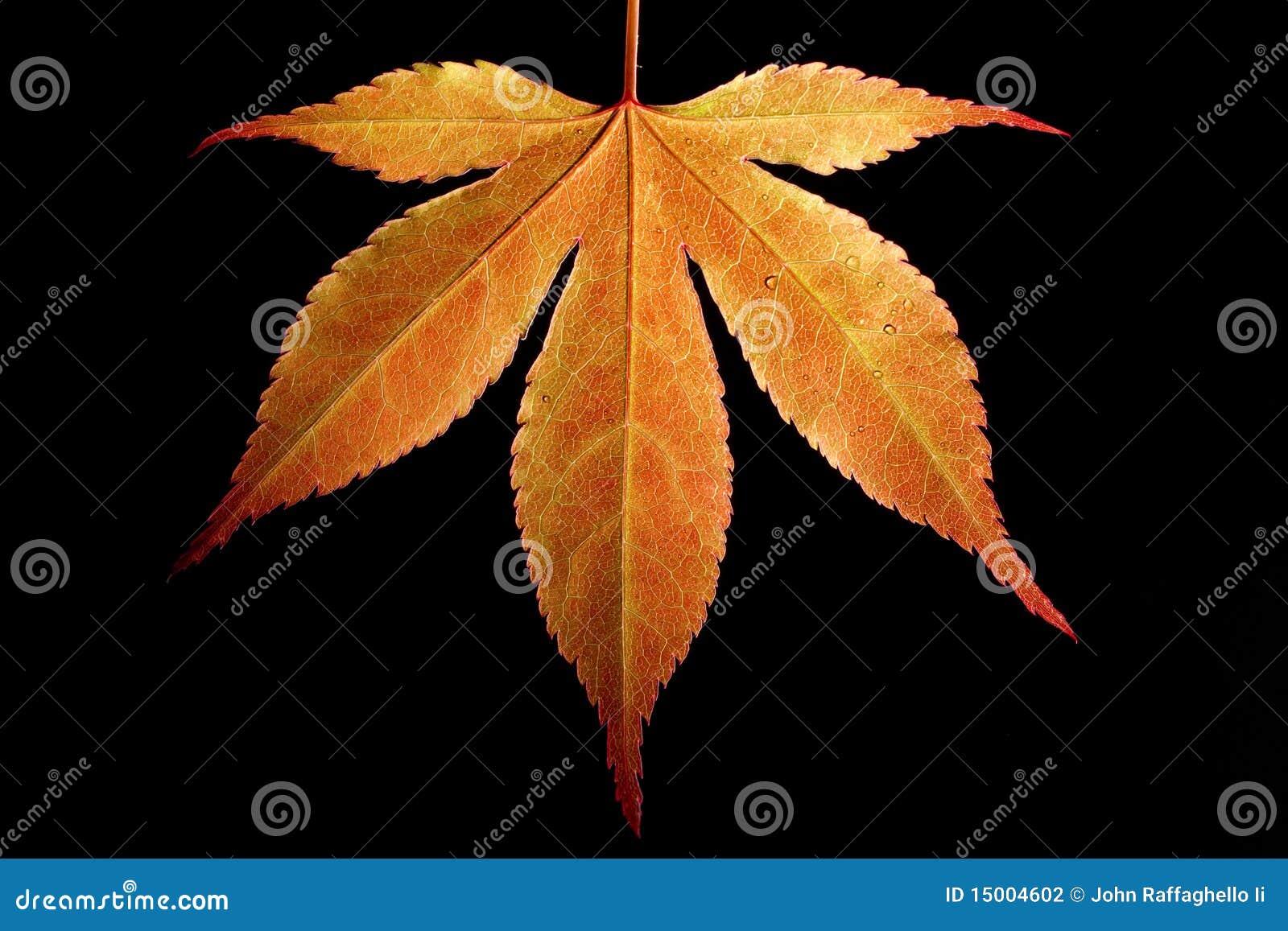 Het oranje Blad van de Esdoorn
