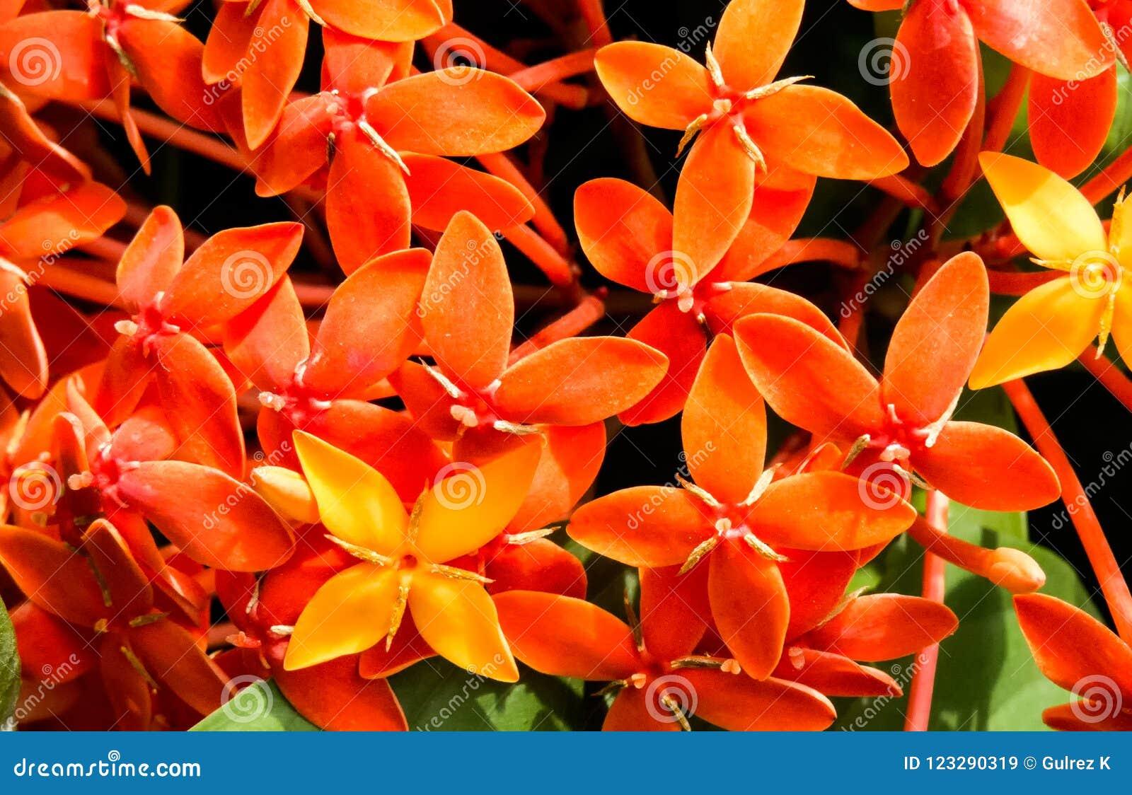 Het oranje Ixora-Bloemen Tot bloei komen